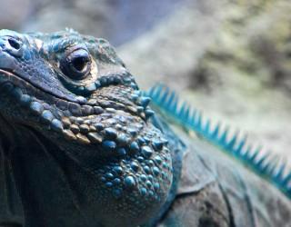 Blue Iguana Conservation Tour Header